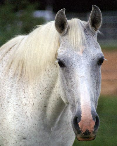 grey mare